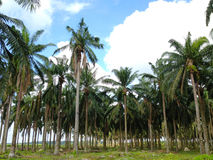 Old palm oil tree Royalty Free Stock Photos