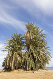 Old Palm tree Royalty Free Stock Photography
