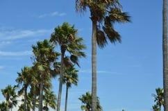 Palm tree Los Angeles California U.S.A.landmark. Old palm tree Los Angeles symbol California along road royalty free stock image