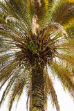 An old palm tree Stock Image