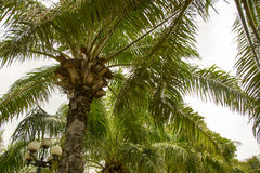 Old palm trees Stock Image