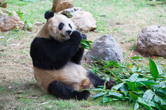Old panda eating bamboo leaves 2 Stock Photos