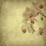 Old paper background. With pink stripy phalaenopsis orchid Royalty Free Stock Photo