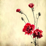 Old paper background with red carnations Royalty Free Stock Images