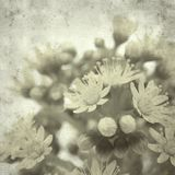 Old paper background. Textured stylish old paper background, square, with Aeonium flowers royalty free stock photo
