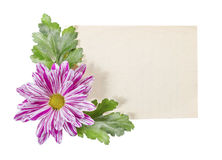 Old paper with chrysanthemum on white background. Stock Photography