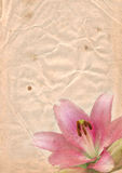 Old paper with pink lily Royalty Free Stock Image