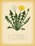 Old paper template with dandelion flower. Vector Stock Photography