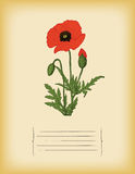 Old paper template with Red Poppy flower. Vector. Old paper template with Poppy flower stock illustration