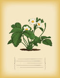 Old paper template with Strawberry bush. Vector Stock Image