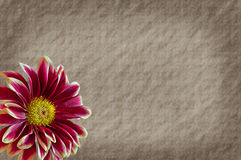 Free Old Paper Texture Mum Flower Stock Photo - 24988340