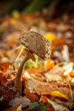 Old parasol mushroom Stock Photography