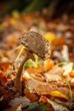 Old parasol mushroom Stock Photography