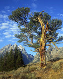 The Old Patriarch Tree. Old tree in Grand Teton National Park Stock Photo