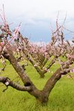 Old peach tree Royalty Free Stock Photography