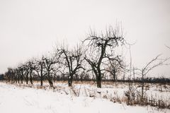 Old peach trees in winter scenery. Old peach trees and snow underneath royalty free stock photo