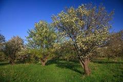 Old pear garden stock photos