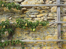 Old pear tree. On a monastery stone wall, healthy eating or agriculture background stock images