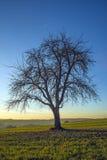 Old pear tree Stock Photo