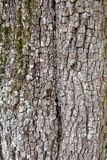 Old pear tree texture Stock Image