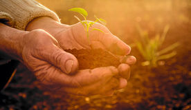 Old Peasant Hands holding green young Plant in Sunlight Rays. Old Peasant Hands holding a green young Plant and earthy Handful in Morning Sunlight Rays Earth Day stock images