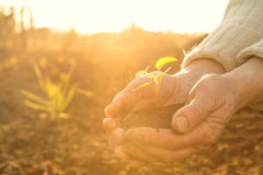 Old Peasant Hands holding green young Plant in Sunlight Rays. Old Peasant Hands holding a green young Plant and earthy Handful in Morning Sunlight Rays Earth Day Royalty Free Stock Photos