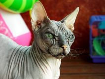 Old pedigreed cat breed don Sphinx royalty free stock photography
