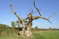 Old Pedunculate Oak Tree Stock Photography