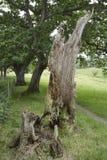 Old Pedunculate Oak Tree Stump Stock Photo