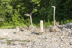 Old peeled tree stems on stones Royalty Free Stock Photography