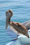 Old Pelican on Boat Stock Photo