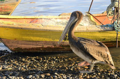 Old pelican Stock Photography