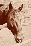 Old Photo of Horse Royalty Free Stock Photography