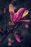Old photo with magnolia bud in early spring royalty free stock photography