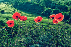Old photo with poppies and chamomile Royalty Free Stock Photos