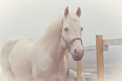 Old photo of a white horse walking Royalty Free Stock Photography