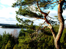A old pine 1. Pine, river, forest landscape royalty free stock photos