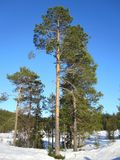 Old pine Stock Image