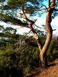A old pine. A pine on hill Royalty Free Stock Images