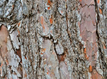 Old pine bark Stock Photography
