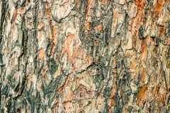 Free Old Pine Bark Texture. Natural Background Fo Design. Royalty Free Stock Images - 156540299