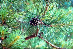 An old pine cone on a green branch Royalty Free Stock Photos