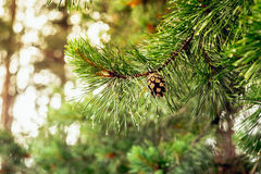 An old pine cone on a green branch Stock Photography