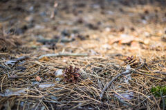 Old pine cone. On the ground Stock Photos