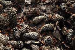 Old pine cones background Royalty Free Stock Image