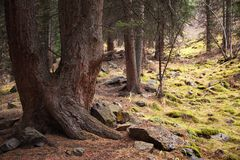 Old pine forest Royalty Free Stock Image