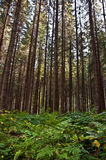 Old pine forest Stock Photography