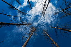 Old Pine Forrest and Blue Sky with Clouds. Old pine tree forrest up towards sky with clouds Royalty Free Stock Images
