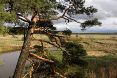 Old pine. Old pine on the high river bank Stock Photo