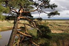 Old pine. Stock Photo